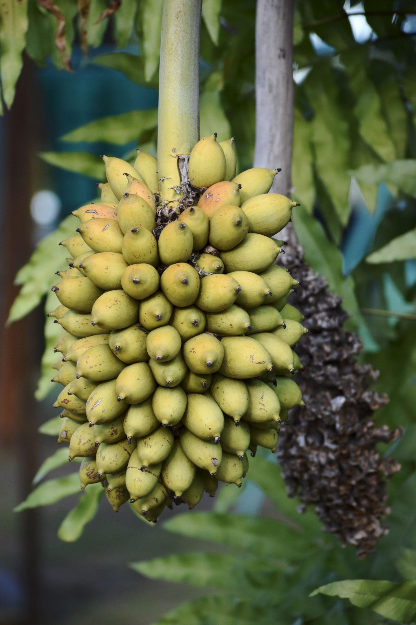 Brazilian fruit banana bunch